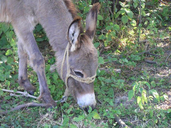 slike azijskog magarca